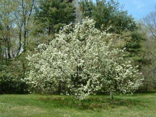 Harrisville apple tree